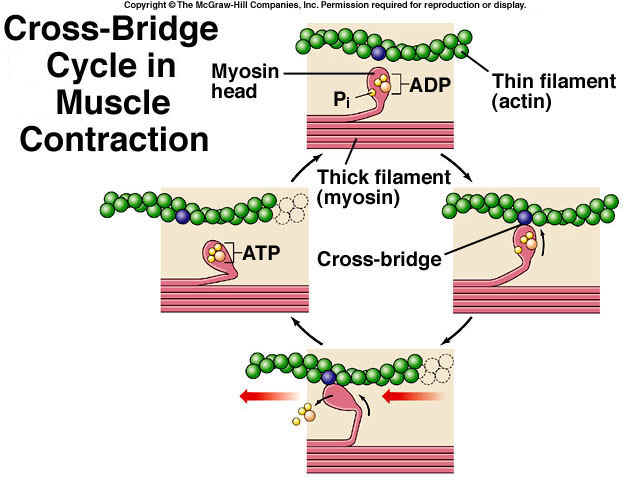 hypothesis on muscle fatigue A theory that stress fractures associated with weight-bearing activities result from progressive exhaustion of the muscles exhausted muscles are less effective as shock-absorbers consequently, abnormally high loads may be concentrated repeatedly on small areas of bone, causing microfractures.