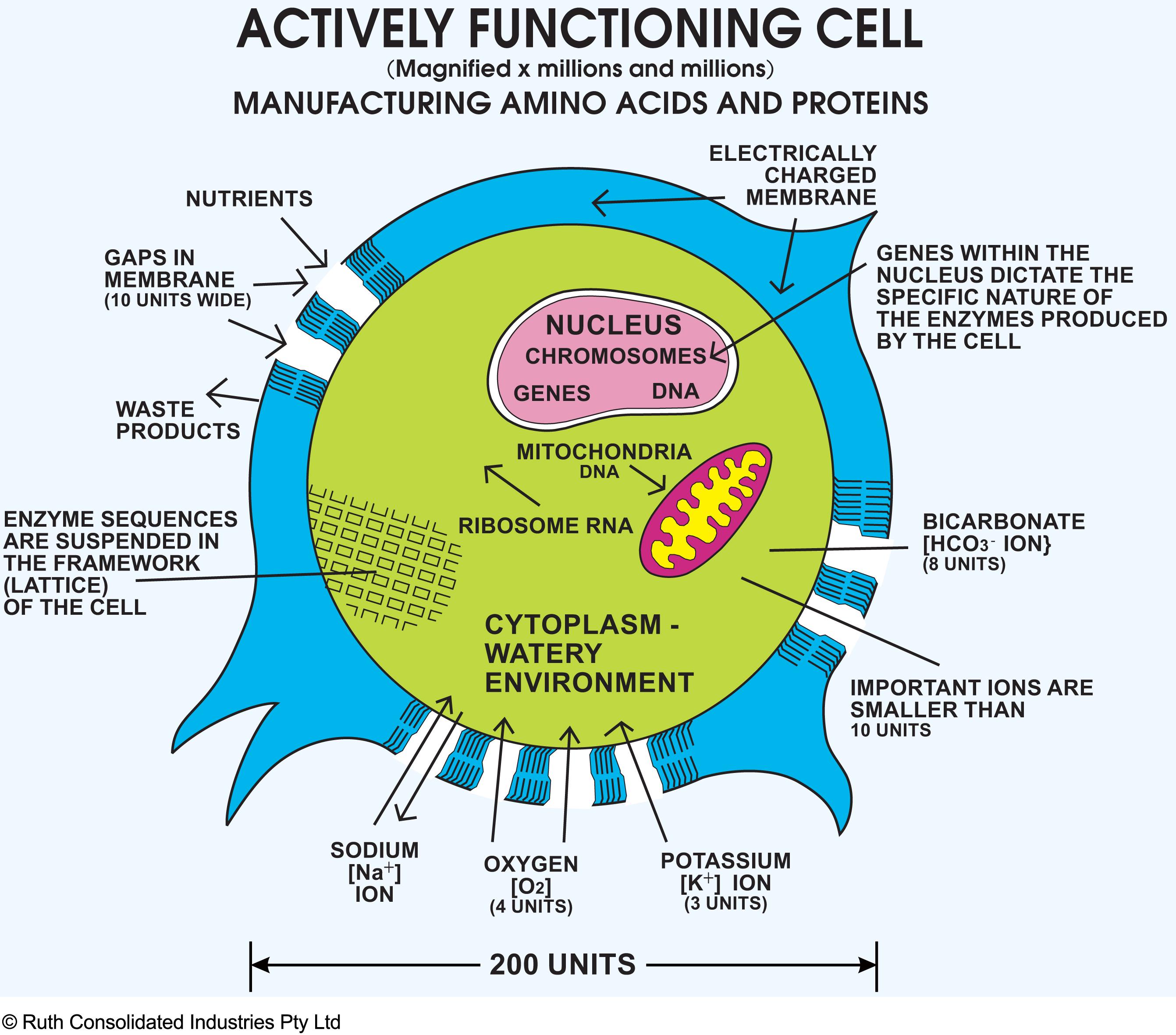 Human Biology Online Lab / Homeostasis of: Cells