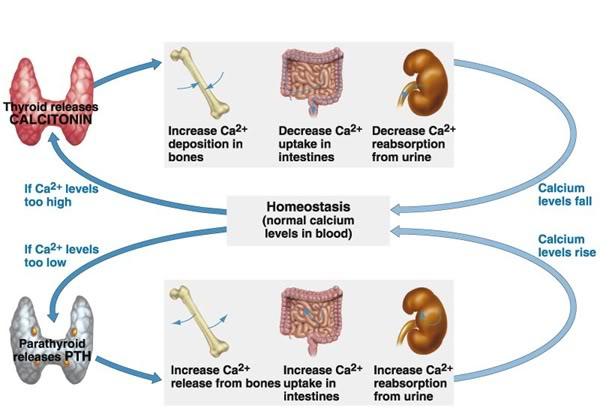 lab on homeostasis Screenshot of human homeostasis gizmo html5  homeostasis lab  of the  complexity of human homeostasis for temperature, water and sugar balance.