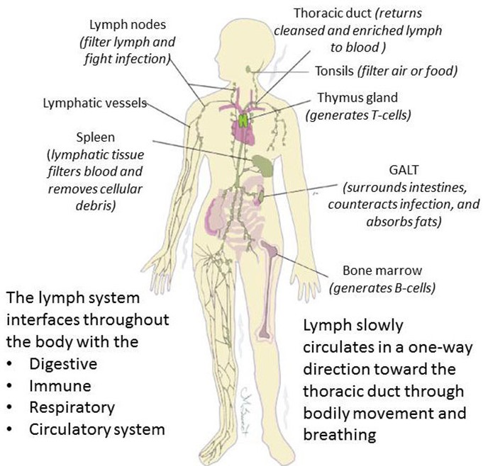 Human Biology Online Lab Homeostasis Of Lymphatic System By