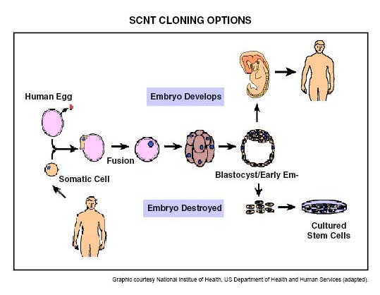 thesis on therapeutic cloning Therapeutic cloning involves growing replacement organs such as a heart, liver, pancreas, or skin from a sample of a person's dna the procedure that would have to be done to accomplish this would involve the use of a human embryo that has been modified by cell nuclear replacement, and the extraction of the embryo's stem cells.