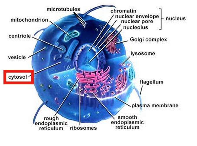 diagram of cytosol human biology online lab / cytosol #6