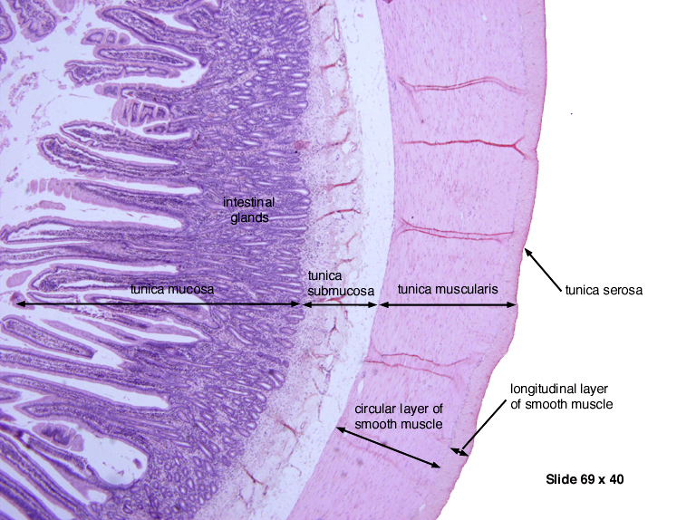 Human Biology Online Lab Stomach Histology
