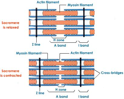 Human Biology Online Lab / How a Muscle Contracts Zora Rabb