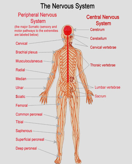 the nervous system and its control over the human body and mind Central nervous system (cns), which consists of the brain and spinal cord, and the peripheral nervous system (pns), comprising all neural pathways to the extremities.