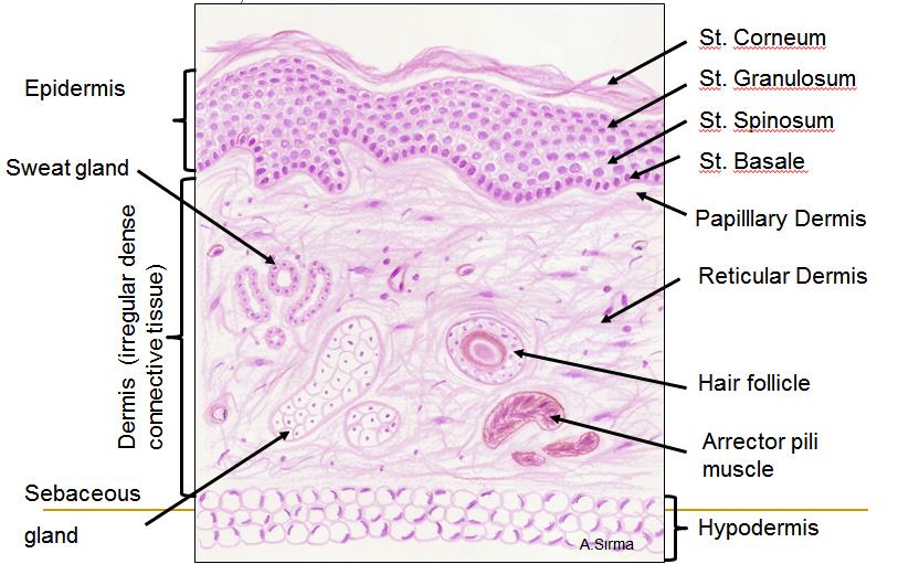 Human Biology Online Lab Histology Of Skin