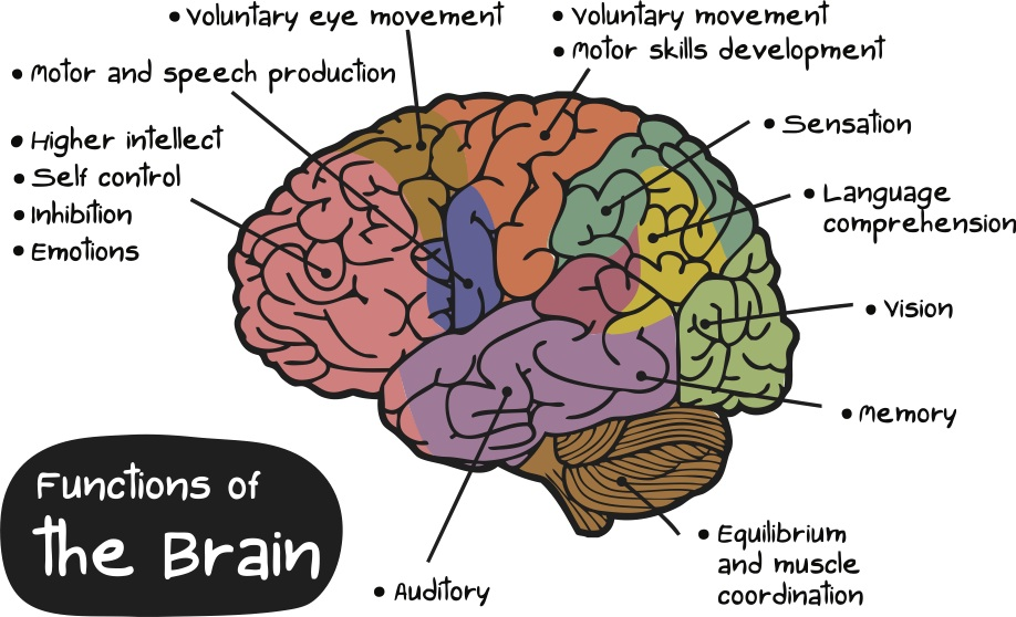 the importance of the human brain
